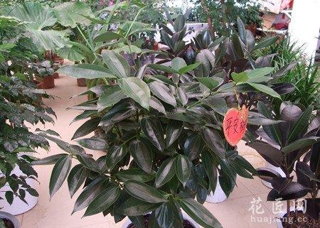 平安樹的修剪方法有哪些?
