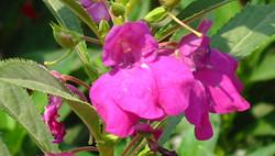凤仙花的繁殖方法有哪些?