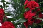 <b>蜀葵的图片</b>