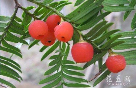 红豆杉有哪些功效与作用?