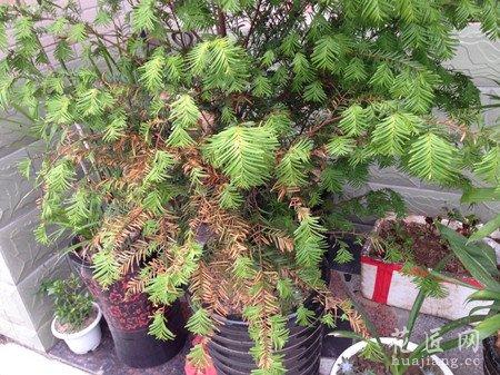 红豆杉叶子发黄的原因以及解决方法