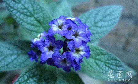 香水草的花语图片