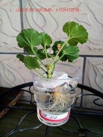 天竺葵水插繁殖生根移栽图解