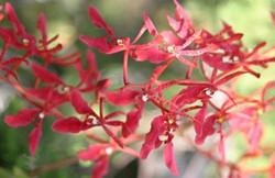 火焰兰的繁殖方式