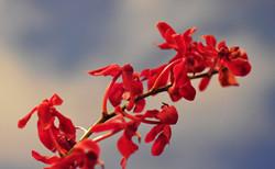 火焰兰的花语 火焰兰的文化背景
