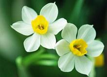水仙花图片欣赏