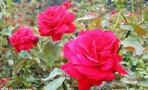 怎样养好玫瑰