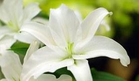 4朵百合花语是什么?