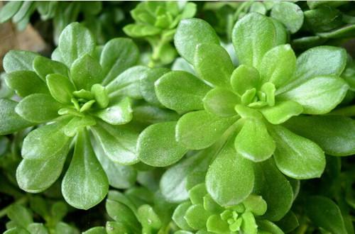 厚脸片植物有毒吗(图)