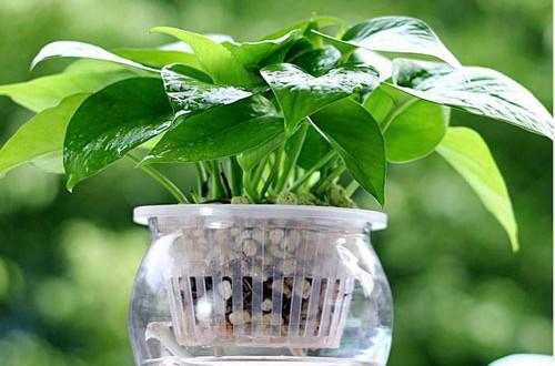 绿萝的养殖方法和注意事项(图)