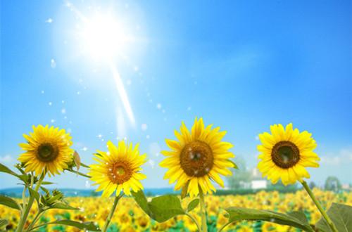 向日葵的龙都娱乐是什么(图)