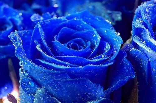 蓝玫瑰的花语是什么(图)