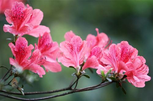 尼泊尔的国花是什么?(图)