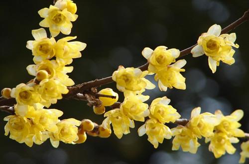 腊梅的花语是什么?(图)