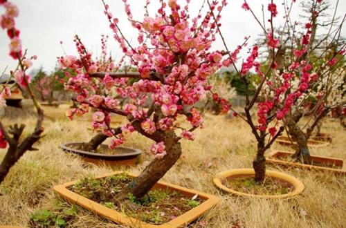 盆栽梅花的水肥管理技巧 盆栽梅花怎么浇水施肥(