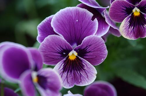 <b>紫色三色堇图片</b>