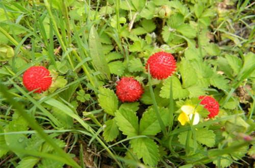 <b>蛇莓图片</b>