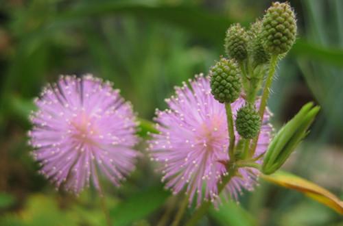 含羞草的花语是什么(图)