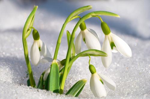 待雪草的传说是什么(图)