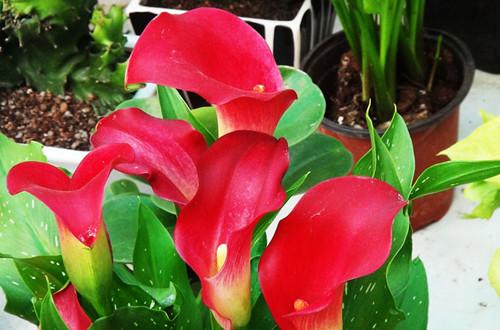 红色马蹄莲的花语是什么(图)