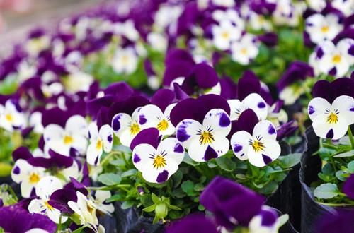 蓝色矢车菊的花语是什么