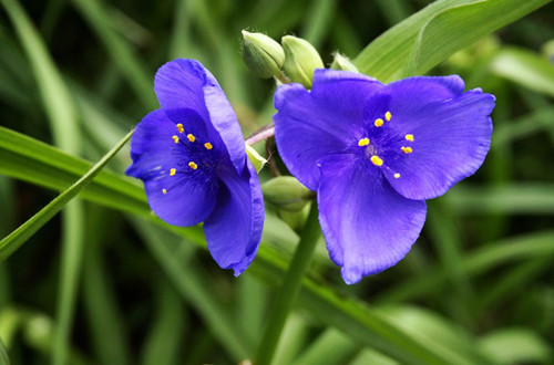 <b>紫露草图片</b>