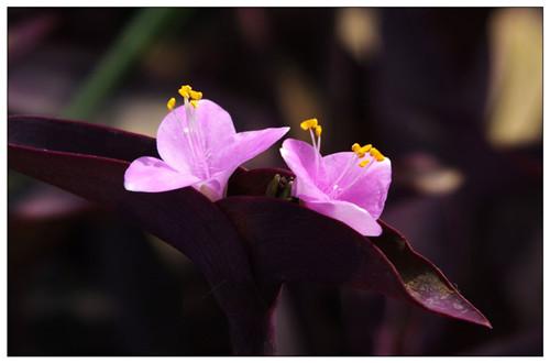紫鸭跖草有什么药用价值 紫鸭跖草的功效与作用(图)