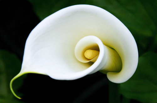马蹄莲的花语是什么 马蹄莲象征什么(图)