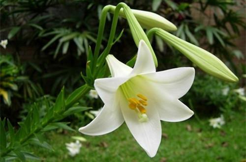 白色百合的花语是什么 白百合象征什么(图)