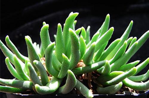 多肉银鱼(Cephalophyllum Loreum