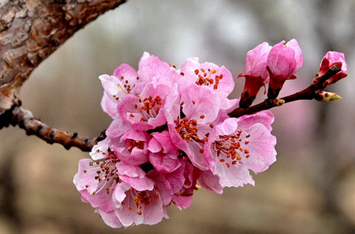 二月的花神是谁?杏花(图)