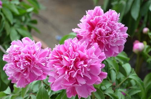 四月的花神是谁?牡丹花(图)