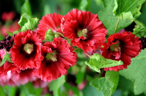 七月的花神是谁?蜀葵(图)
