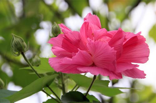 十月的花神是谁?木芙蓉(图)