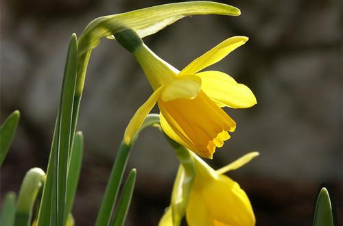 十二月(腊月)的花神是谁?水仙花(图)
