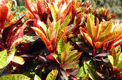 变叶木有毒吗 变叶木适合在室内养殖吗(图)