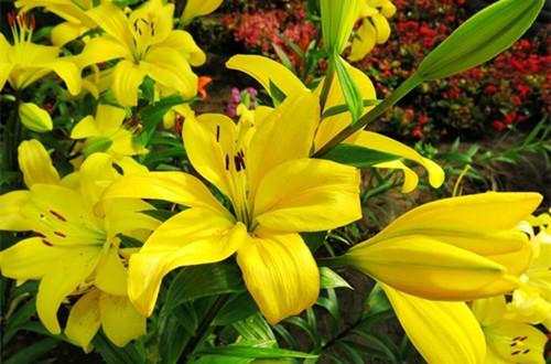 黄色百合花代表什么意思 送黄色百合花是什么意思(图)
