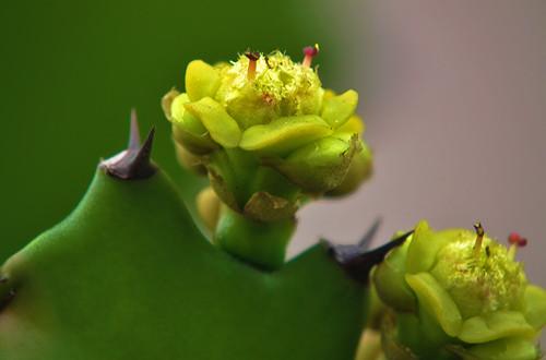怎么让仙人掌开花 仙人掌开花有什么条件(图)