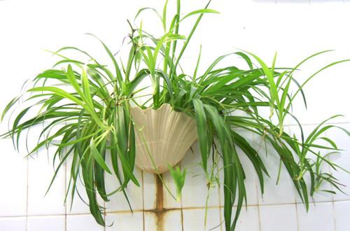 适合放在卧室的植物有哪些(图)