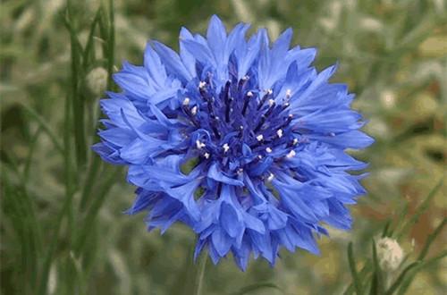 九月的花语是什么?香水矢车菊(图)