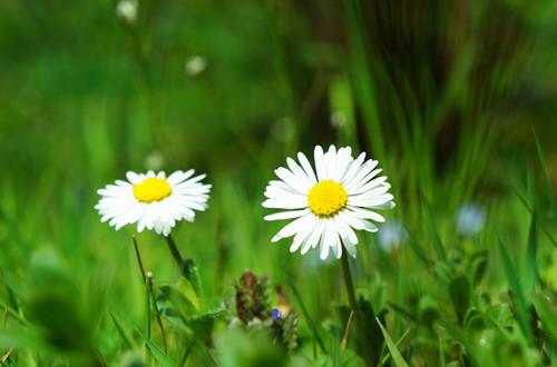 <b>十一月的花语是什么?雏菊(图)</b>