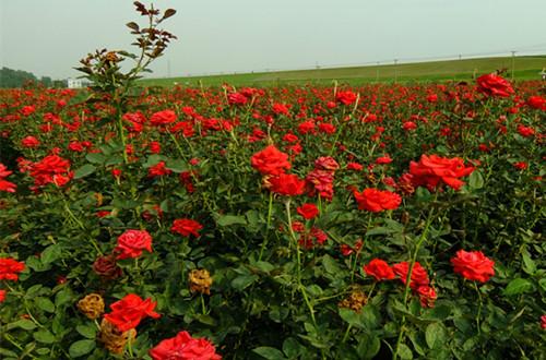 玫瑰花种子怎么种 玫瑰花种子的种殖方法(图)