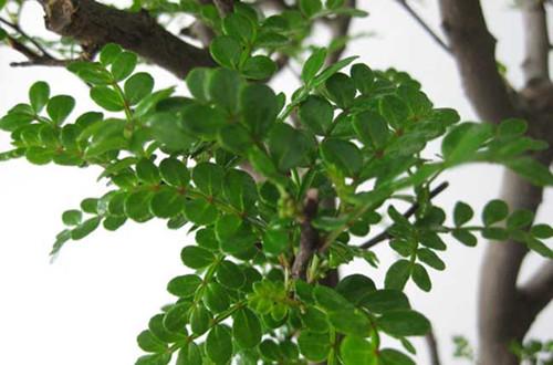 <b>清香木的作用 清香木有哪些作用(图)</b>