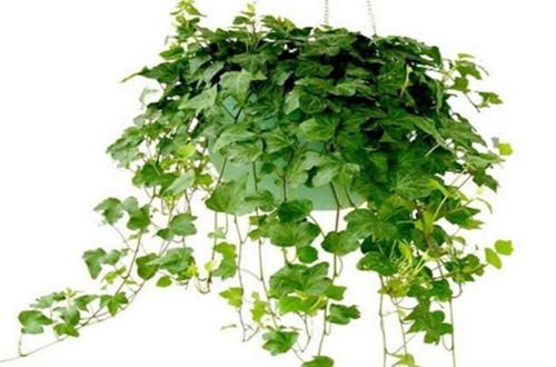 常春藤怎么养 常春藤的养殖方法(图)