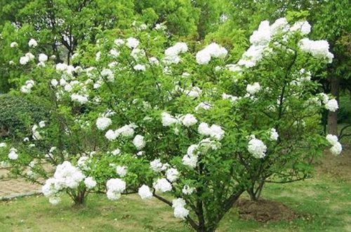 绣球花有毒吗 绣球花气味有毒吗(图)
