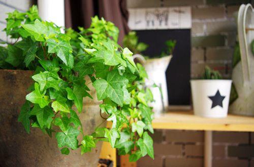 除甲醛的植物有哪些 什么植物吸甲醛效果最好(图)