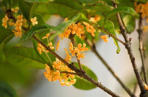 桂花树不开花怎么回事 桂花树不开花怎么办(图)