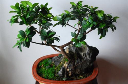榕树盆景如何养殖 榕树盆景如何浇水(图)