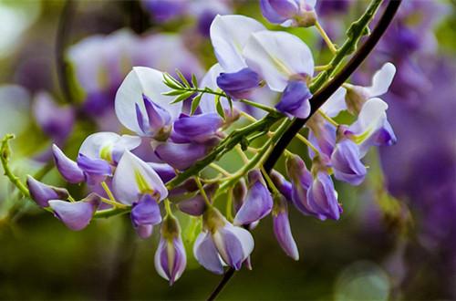 紫藤的种子怎么种 紫藤种子怎么种植(图)