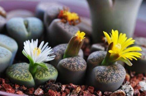 生石花发芽后怎么移苗 生石花发芽后如何养护(图)